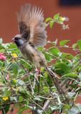 BIRD - MOUSEBIRD - SPECKLED MOUSEBIRD - RUHENGERI RWANDA (7).JPG