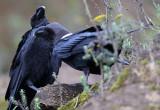 BIRD - RAVEN - WHITE-NAPED RAVEN - NYUNGWE NATIONAL PARK RWANDA (230).JPG