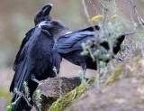 BIRD - RAVEN - WHITE-NAPED RAVEN - NYUNGWE NATIONAL PARK RWANDA (233).JPG