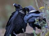 BIRD - RAVEN - WHITE-NAPED RAVEN - NYUNGWE NATIONAL PARK RWANDA (236).JPG