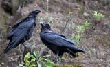 BIRD - RAVEN - WHITE-NAPED RAVEN - NYUNGWE NATIONAL PARK RWANDA (239).JPG
