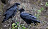BIRD - RAVEN - WHITE-NAPED RAVEN - NYUNGWE NATIONAL PARK RWANDA (241).JPG