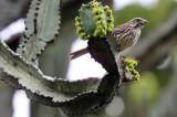 BIRD - SEEDEATER - STREAKY SEEDEATER - SERINUS STRIOLATUS - RUHENGERI RWANDA (1).JPG