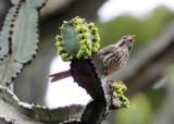 BIRD - SEEDEATER - STREAKY SEEDEATER - SERINUS STRIOLATUS - RUHENGERI RWANDA (3).JPG