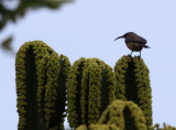 BIRD - SUNBIRD - BRONZE SUNBIRD - NECTARINIA KILIMENSIS - RUHENGERI RWANDA (1).JPG