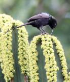BIRD - SUNBIRD - BRONZE SUNBIRD - NECTARINIA KILIMENSIS - RUHENGERI RWANDA (11).JPG