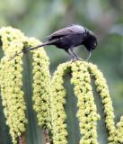 BIRD - SUNBIRD - BRONZE SUNBIRD - NECTARINIA KILIMENSIS - RUHENGERI RWANDA (12).JPG