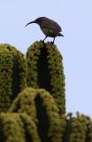 BIRD - SUNBIRD - BRONZE SUNBIRD - NECTARINIA KILIMENSIS - RUHENGERI RWANDA (2).JPG