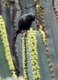 BIRD - SUNBIRD - BRONZE SUNBIRD - NECTARINIA KILIMENSIS - RUHENGERI RWANDA (4).JPG
