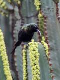 BIRD - SUNBIRD - BRONZE SUNBIRD - NECTARINIA KILIMENSIS - RUHENGERI RWANDA (5).JPG