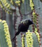 BIRD - SUNBIRD - BRONZE SUNBIRD - NECTARINIA KILIMENSIS - RUHENGERI RWANDA (6).JPG