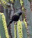 BIRD - SUNBIRD - BRONZE SUNBIRD - NECTARINIA KILIMENSIS - RUHENGERI RWANDA (7).JPG