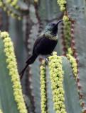 BIRD - SUNBIRD - BRONZE SUNBIRD - NECTARINIA KILIMENSIS - RUHENGERI RWANDA (8).JPG