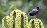 BIRD - SUNBIRD - BRONZE SUNBIRD - RUHENGERI RWANDA (2).JPG