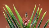 BIRD - SUNBIRD - OLIVE SUNBIRD - CYANOMITRA OLIVACEA - RUHENGERI RWANDA (10).JPG