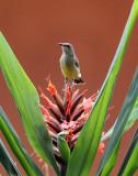 BIRD - SUNBIRD - OLIVE SUNBIRD - CYANOMITRA OLIVACEA - RUHENGERI RWANDA (14).jpg