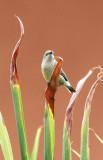 BIRD - SUNBIRD - OLIVE SUNBIRD - CYANOMITRA OLIVACEA - RUHENGERI RWANDA (3).JPG