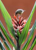 BIRD - SUNBIRD - OLIVE SUNBIRD - CYANOMITRA OLIVACEA - RUHENGERI RWANDA (6).JPG