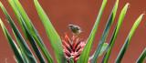 BIRD - SUNBIRD - OLIVE SUNBIRD - CYANOMITRA OLIVACEA - RUHENGERI RWANDA (7).JPG