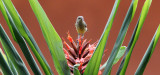 BIRD - SUNBIRD - OLIVE SUNBIRD - CYANOMITRA OLIVACEA - RUHENGERI RWANDA (8).JPG
