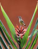 BIRD - SUNBIRD - OLIVE SUNBIRD - CYANOMITRA OLIVACEA - RUHENGERI RWANDA (9).JPG