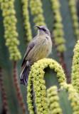 BIRD - SUNBIRD - REGAL SUNBIRD - - RUHENGERI RWANDA (11).JPG