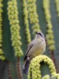 BIRD - SUNBIRD - REGAL SUNBIRD - - RUHENGERI RWANDA (9).JPG