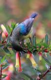 BIRD - SUNBIRD - REGAL SUNBIRD - CINNYRIS REGIA -  NYUNGWE NATIONAL PARK RWANDA (4).JPG