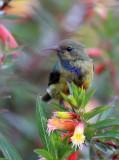 BIRD - SUNBIRD - REGAL SUNBIRD - CINNYRIS REGIA - NYUNGWE NATIONAL PARK RWANDA (1).JPG