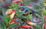 BIRD - SUNBIRD - REGAL SUNBIRD - CINNYRIS REGIA - NYUNGWE NATIONAL PARK RWANDA (2).JPG