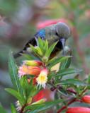 BIRD - SUNBIRD - REGAL SUNBIRD - CINNYRIS REGIA - NYUNGWE NATIONAL PARK RWANDA (3).JPG