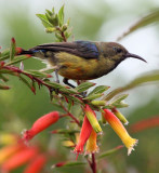 BIRD - SUNBIRD - REGAL SUNBIRD - NYUNGWE NATIONAL PARK RWANDA (411).JPG