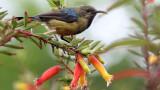 BIRD - SUNBIRD - REGAL SUNBIRD - NYUNGWE NATIONAL PARK RWANDA (412).JPG