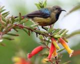 BIRD - SUNBIRD - REGAL SUNBIRD - NYUNGWE NATIONAL PARK RWANDA (414).JPG