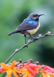 BIRD - SUNBIRD - REGAL SUNBIRD - NYUNGWE NATIONAL PARK RWANDA (415).JPG