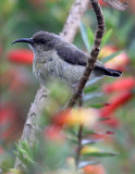 BIRD - SUNBIRD - REGAL SUNBIRD - NYUNGWE NATIONAL PARK RWANDA (422).JPG