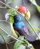 BIRD - SUNBIRD - REGAL SUNBIRD - RUHENGERI RWANDA (1).JPG