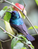 BIRD - SUNBIRD - REGAL SUNBIRD - RUHENGERI RWANDA (2).JPG