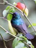 BIRD - SUNBIRD - REGAL SUNBIRD - RUHENGERI RWANDA (3).JPG