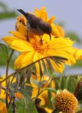 BIRD - SUNBIRD - REGAL SUNBIRD - RUHENGERI SUNBIRD - RUHENGERI RWANDA (2).JPG