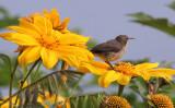 BIRD - SUNBIRD - REGAL SUNBIRD - RUHENGERI SUNBIRD - RUHENGERI RWANDA (3).JPG
