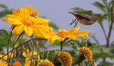 BIRD - SUNBIRD - REGAL SUNBIRD - RUHENGERI SUNBIRD - RUHENGERI RWANDA (4).JPG