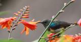 BIRD - SUNBIRD - RWENZORI DOUBLE-COLLARED SUNBIRD - CINNYRIS STUHLMANNI - NYUNGWE NATIONAL PARK RWANDA.JPG