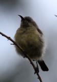 BIRD - SUNBIRD - RWENZORI DOUBLE-COLLARED SUNBIRD - NYUNGWE NATIONAL PARK RWANDA (11).JPG