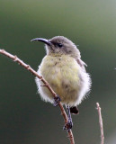 BIRD - SUNBIRD - RWENZORI DOUBLE-COLLARED SUNBIRD - NYUNGWE NATIONAL PARK RWANDA (2).JPG