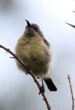 BIRD - SUNBIRD - RWENZORI DOUBLE-COLLARED SUNBIRD - NYUNGWE NATIONAL PARK RWANDA (5).JPG