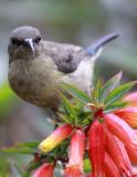 BIRD - SUNBIRD - RWENZORI DOUBLE-COLLARED SUNBIRD - NYUNGWE NATIONAL PARK RWANDA (7).JPG