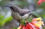 BIRD - SUNBIRD - RWENZORI DOUBLE-COLLARED SUNBIRD - NYUNGWE NATIONAL PARK RWANDA (9).JPG