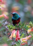 BIRD - SUNBIRD - SUPERB SUNBIRD - CINNYRIS SUPERBA - NYUNGWE NATIONAL PARK RWANDA (2).JPG