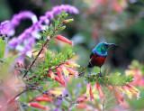 BIRD - SUNBIRD - SUPERB SUNBIRD - CINNYRIS SUPERBA - NYUNGWE NATIONAL PARK RWANDA.JPG